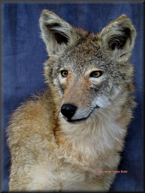 Coyote Head Taxidermy