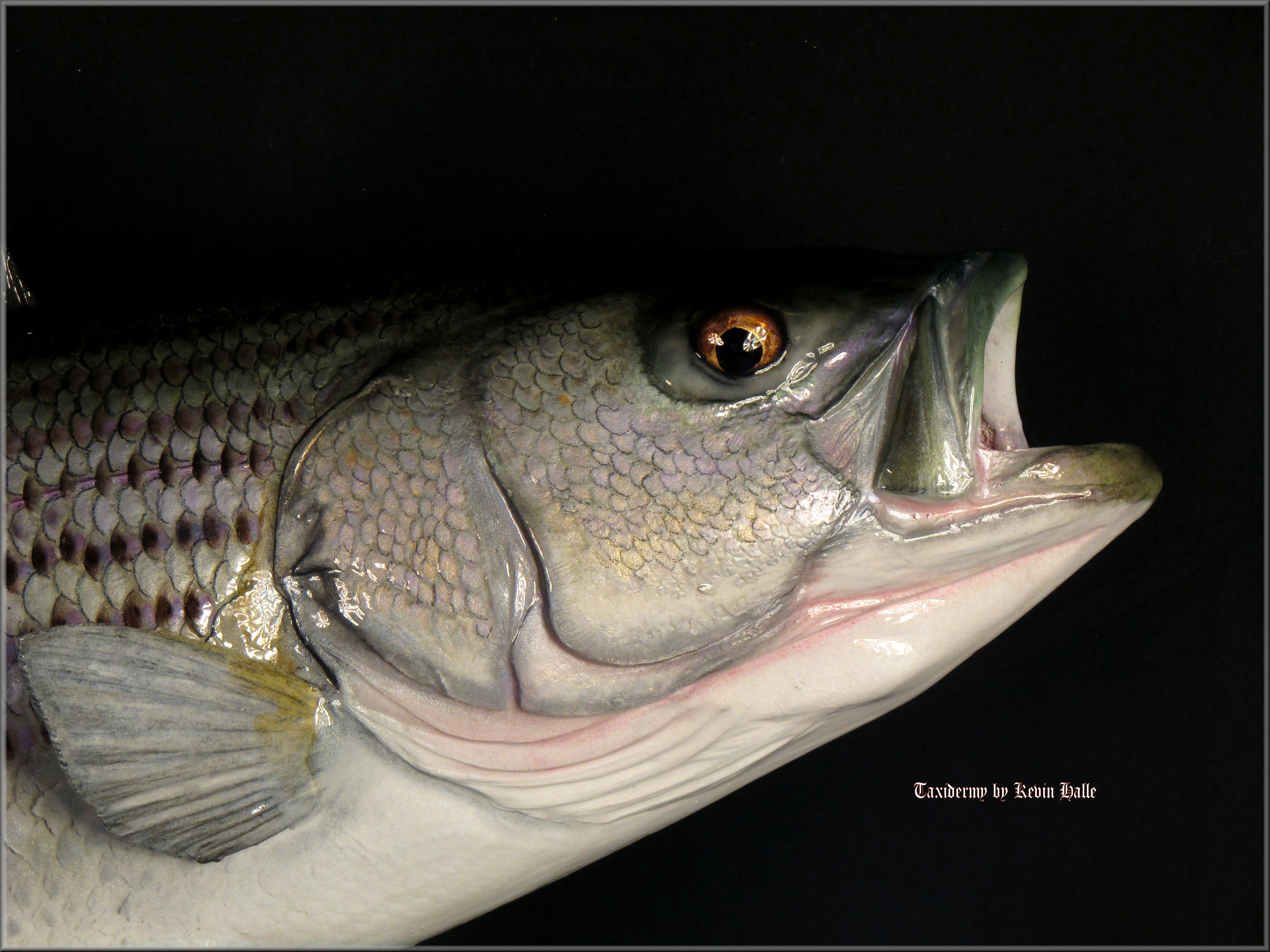 Striped Bass Head