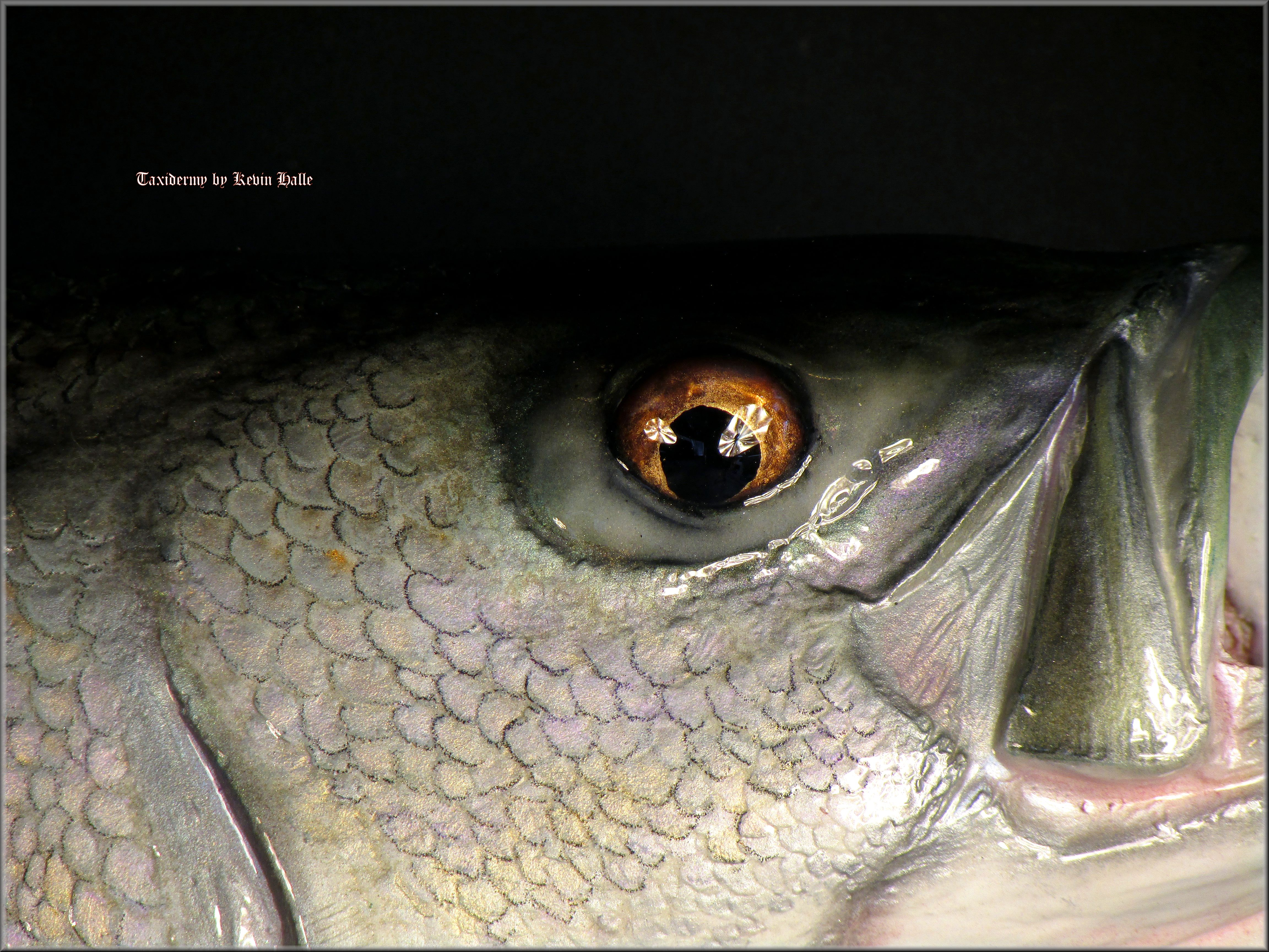 striped Bass eye