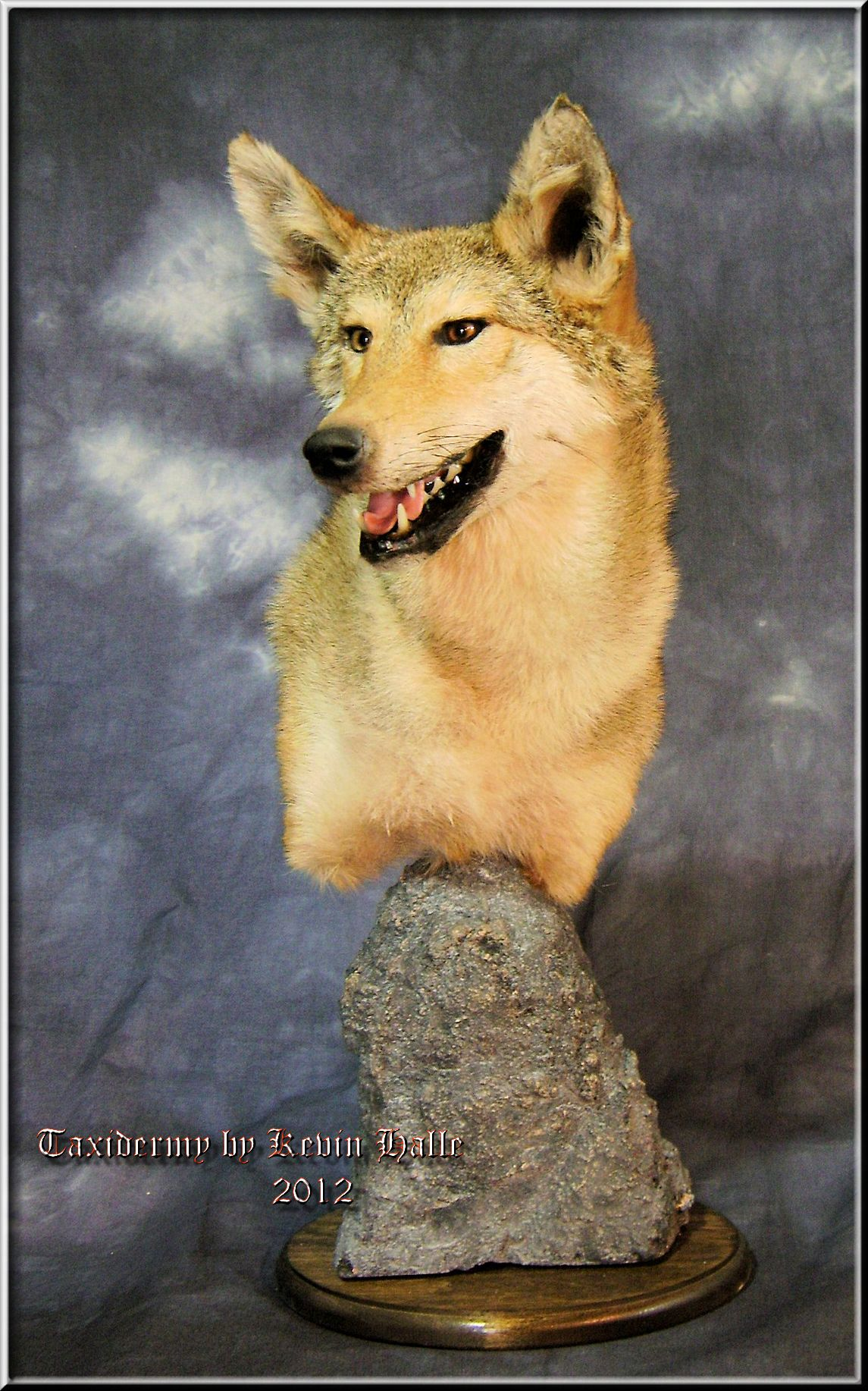 Taxidermy by Kevin Halle of the head of a coyote, St. Mary's, GA 31558