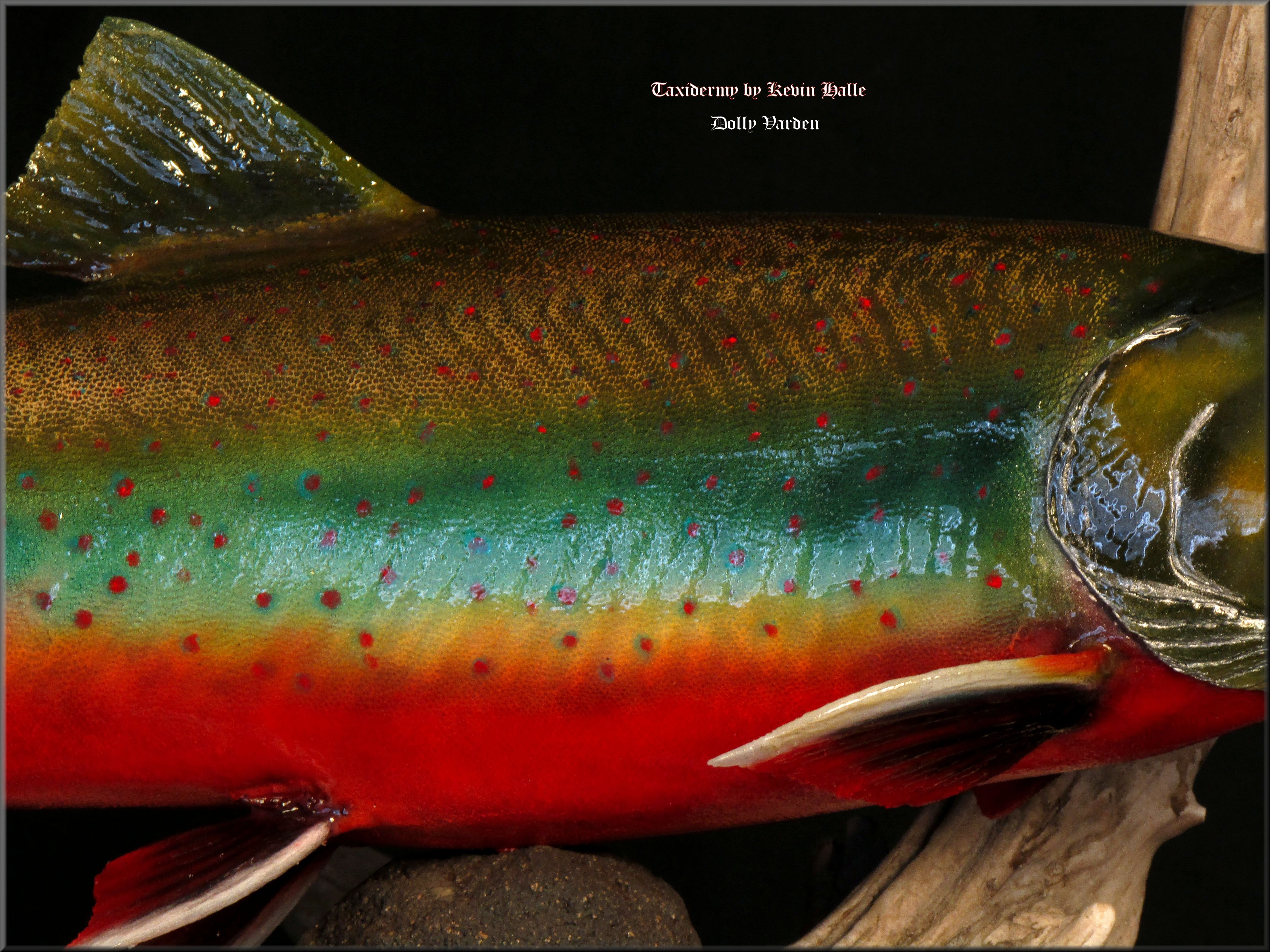 Dolly Varden Sideview
