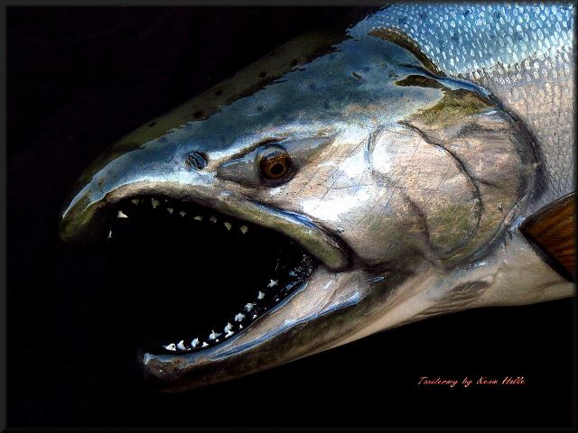 King Salmon Head