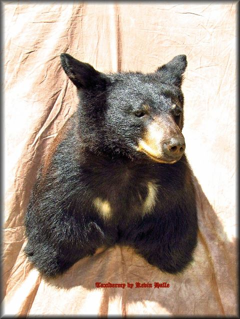 Black Bear Taxidermy