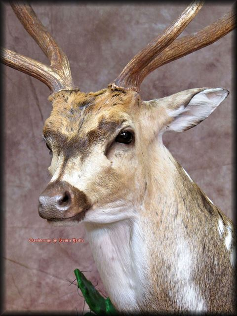 Axis Deer Closeup