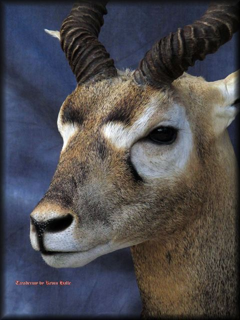 Blackbuck Taxidermy