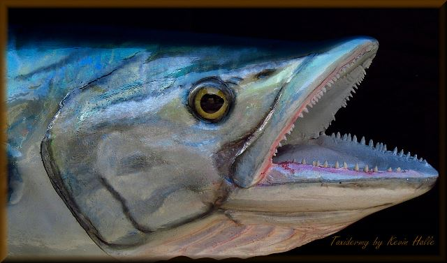 Kingfish Head