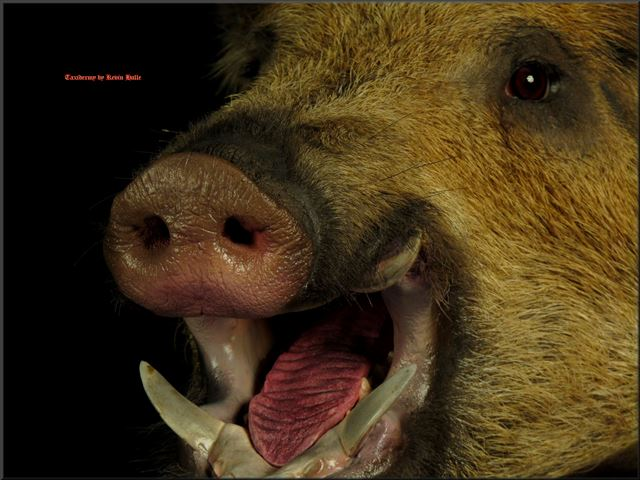 wild boar mouth closeup