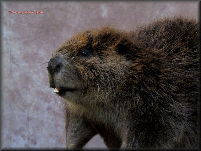 Beaver closeup Head