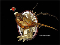 Pheasant, Taxidermy by Kevin Halle, St. Mary's, GA 31558
