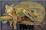 Taxidermy by Kevin Halle of a bobcat on a limb, Georgia, Florida, South Carolina, Southeastern US, 31558