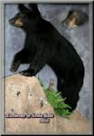 rollover image of a Life Size Bear, Taxidermy by Kevin Halle, St. Mary's, GA 31558