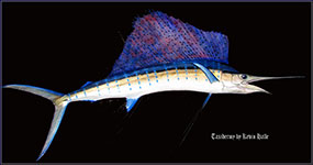 sailfish, Taxidermy by Kevin Halle, St. Mary's, Ga 31558