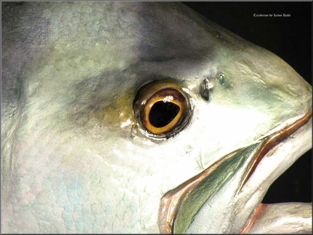 roosterfish head closeup