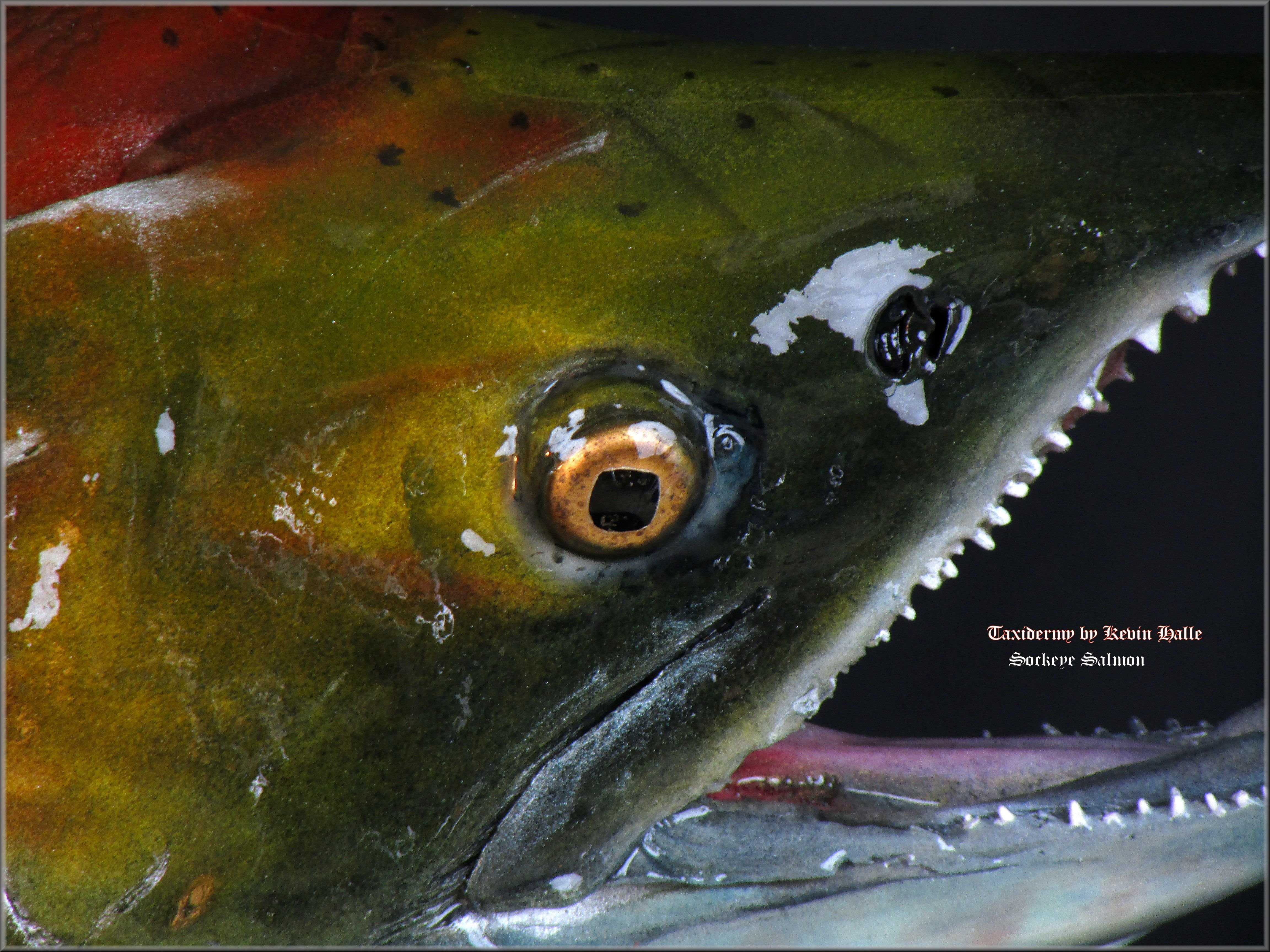 Sockeye Head Closeup