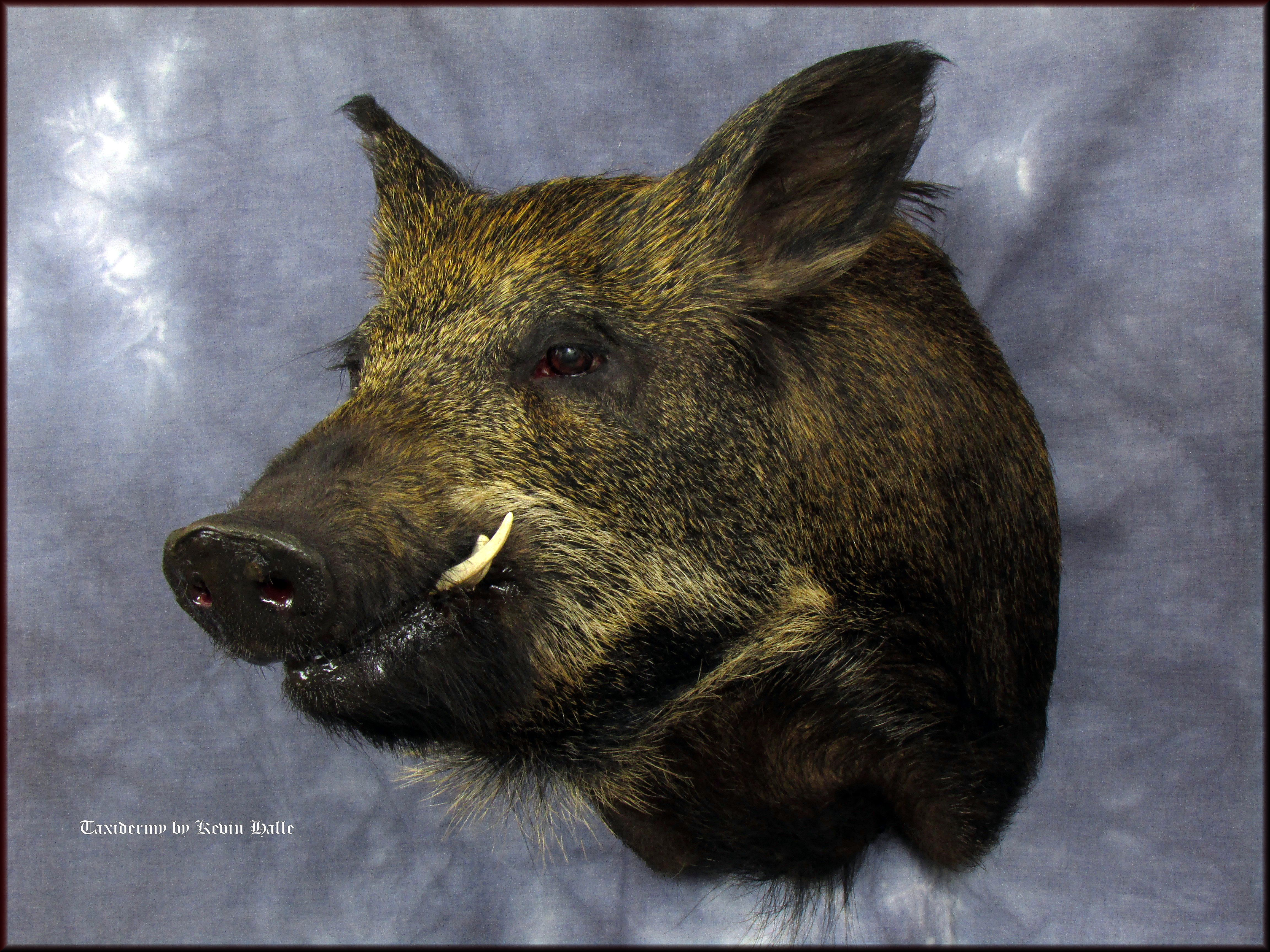 closed mouth boar