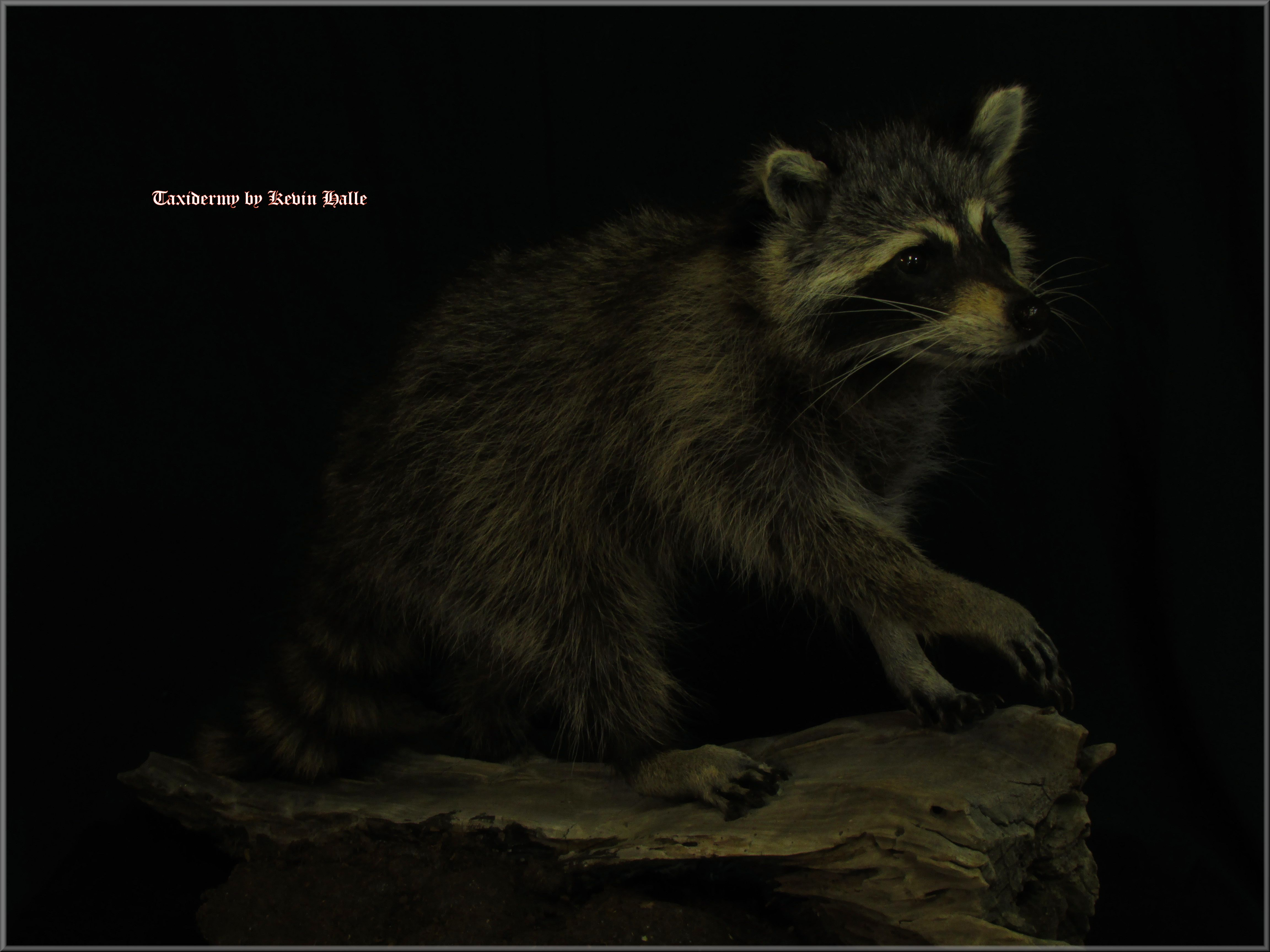 Raccoon lifesize
