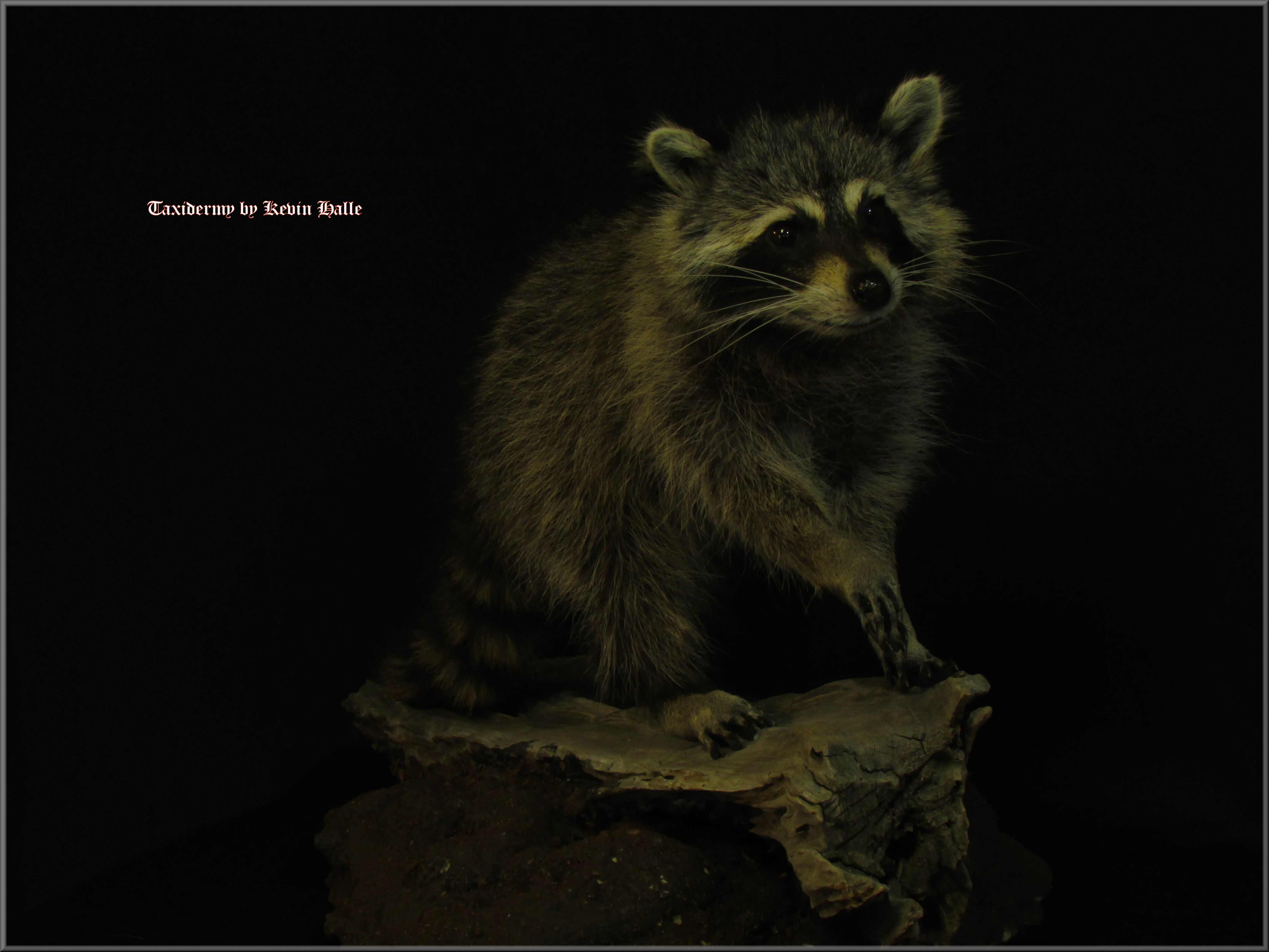 lifesize raccon taxidermy